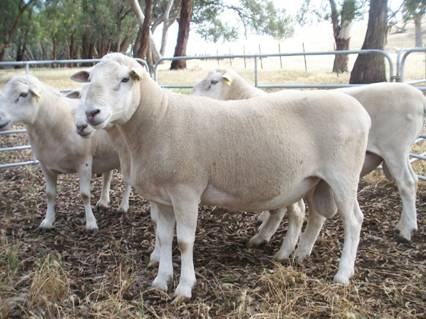 Howes Creek Hills bred commercial Wiltipoll Rams