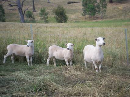 Wiltipoll Ewe and twins 4 months of age